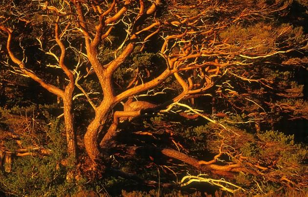 Scots Pine boughs at dusk Beinn Eighe NNR Wester Ross ©Niall Benvie SNH
