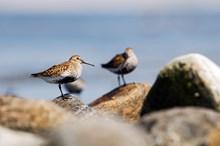 Dunlin ©Lorne Gill/NatureScot