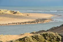 Grey seals  and sand dunes at the Ythan estuary  Forvie National Nature Reserve ©Lorne Gill/SNH