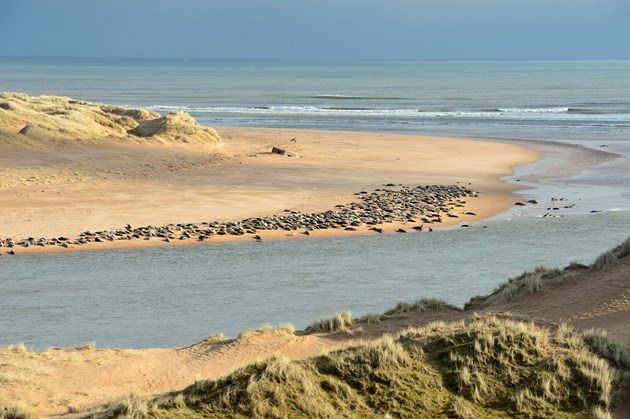 Community pulls together to safeguard seals: Grey seals  and sand dunes at the Ythan estuary  Forvie National Nature Reserve ©Lorne Gill/SNH