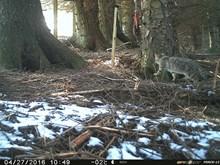 possible wildcat kitten - angus glens