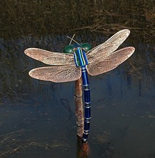 dragonfly: dragonfly by Lucinda Hopkinson