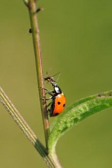 Six-spot ladybird eating an aphid ©Lorne Gill/NatureScot