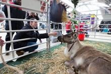 Reindeer-8