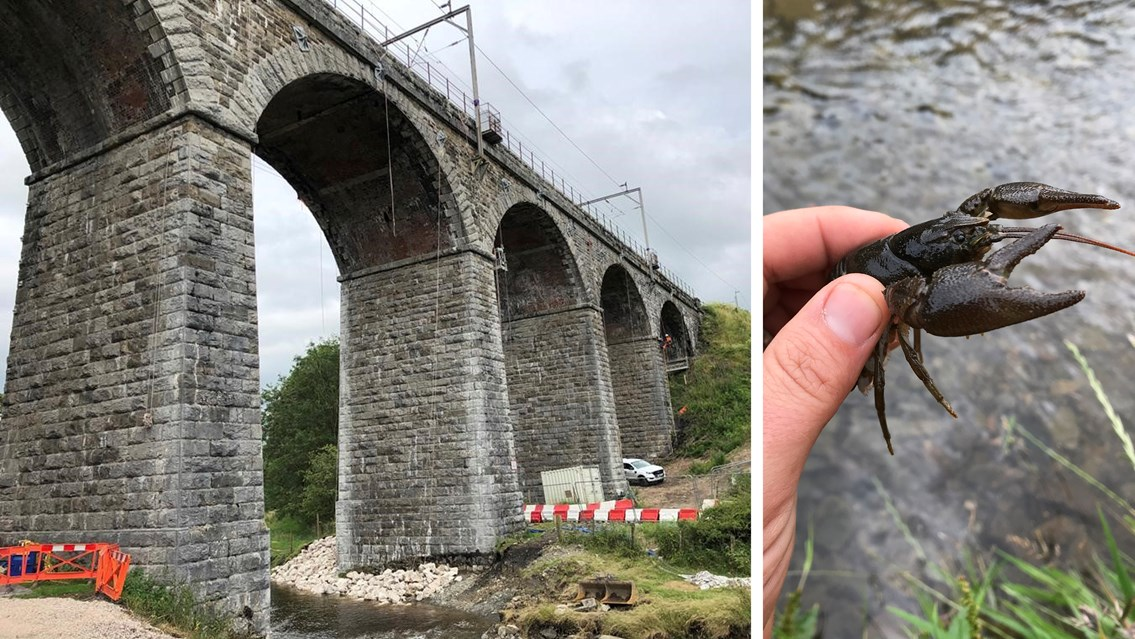 Endangered crayfish rescued during Victorian viaduct strengthening: Docker Garths viaduct and white clawed crayfish composite