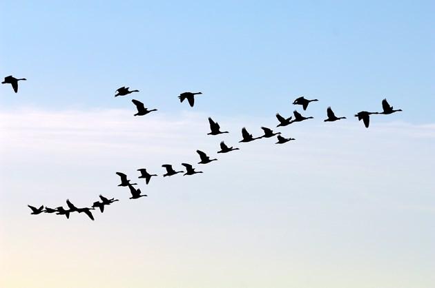 Caerlaverock-skein of grey geese - credit Lorne Gill-SNH
