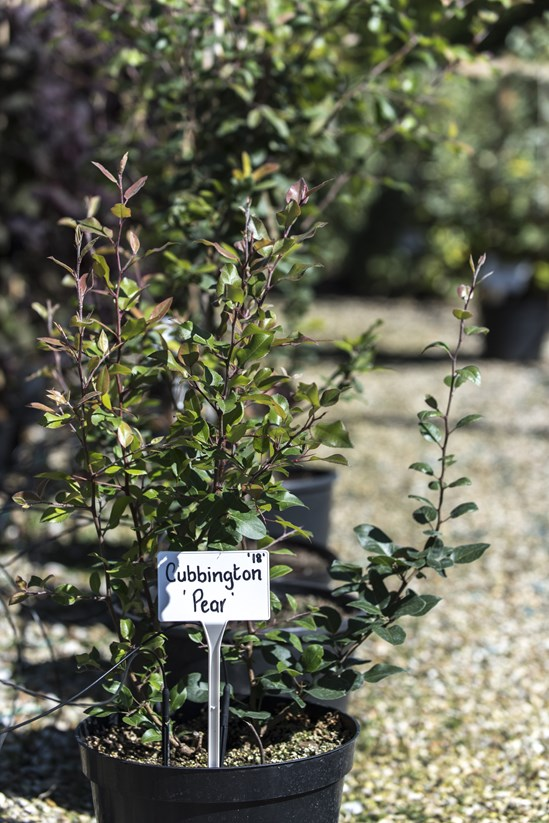 Veteran pear tree will live on in new woodland created by HS2: Cubbington Pear Tree saplings at Crowder's Nurseries