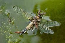 Pond skaters eating a dead dragonfly ©Lorne GillSNH2020VISION