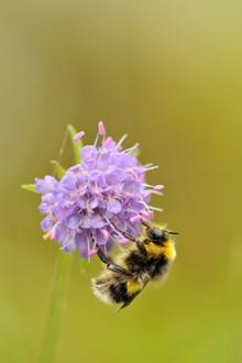 Bumblebee feeding on devil's bit scabious ©Lorne Gill / SNH