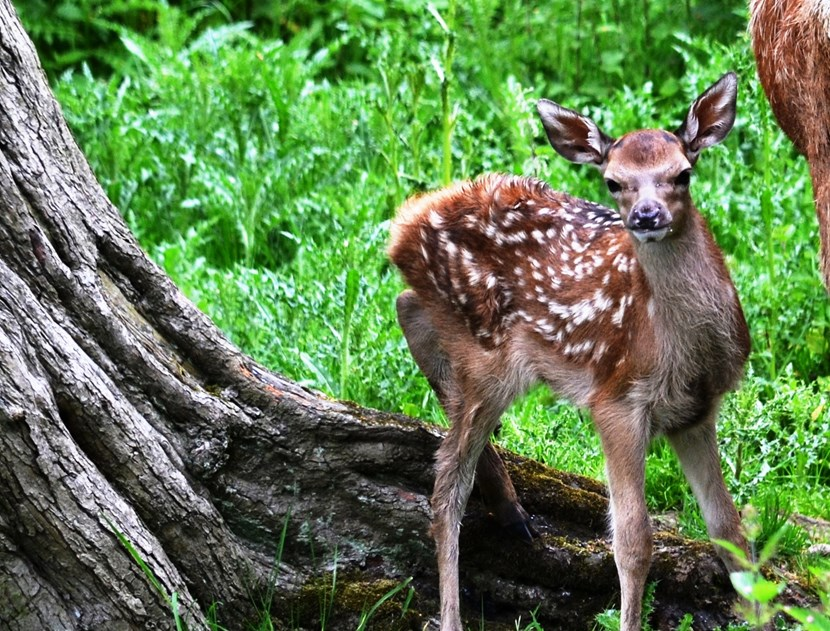 First fawn of 2016 arrives at Lotherton Hall: fawn-2.jpg