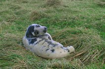 Seal Puppy: Image by Catherine Brown - used with permission.