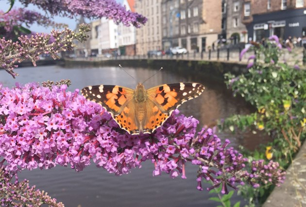 £8 million nature boost for urban communities: Painted Lady butterfly in Leith © Mike Shepherd