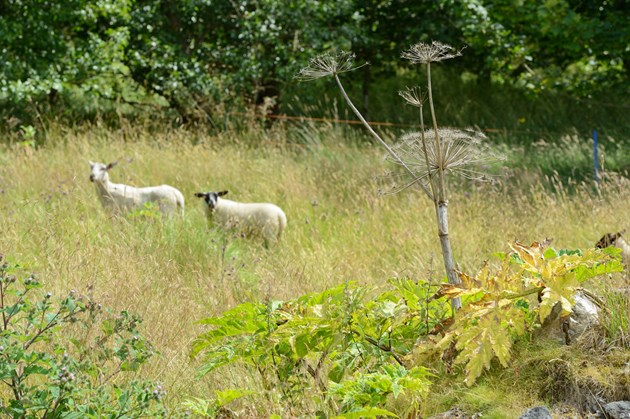 Sheep join battle against plant invaders in Macduff: Giant Hogweed © Lorne Gill/SNH