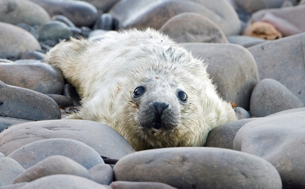 Grey seal pup ©Lorne Gill/NatureScot