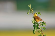 Yellowhammer bird perching on a hawthorn hedge: Yellowhammer bird perching on a hawthorn hedge