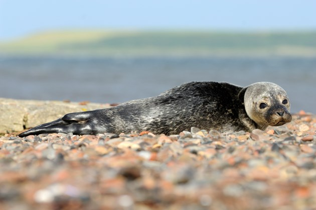 NatureScot urges watersport visitors to keep their distance from seals: Harbour seal pup ©Lorne Gill-NatureScot