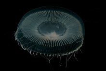 The bioluminescent hydrozoan - technically not a species of jellyfish - was often seen washed into cave mouths during the survey. ©Graham Saunders