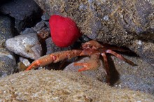 A squat lobster and a closed beadlet anemone on a typical boulder cave floor. Diamond Cave, Fair Isle. ©Graham Saunders