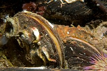 Horse mussels with tube worms and a green sea urchin, Graham Saunders © Marine Scotland.: Horse mussels with tube worms and a green sea urchin, Graham Saunders © Marine Scotland. One-off use.