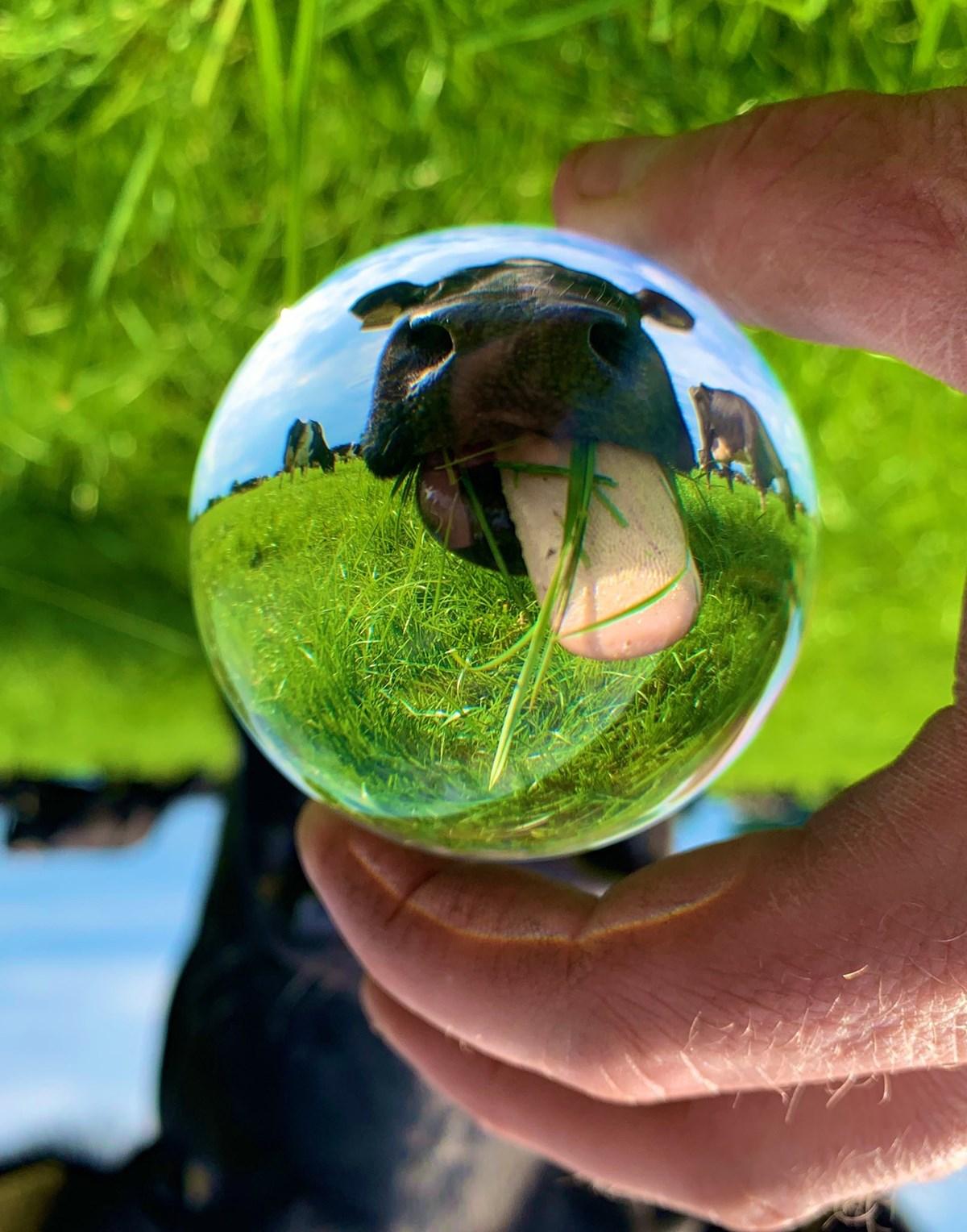 Crystal ball four Credit James Muir, an Arla farmer from Staffordshire  Twitter muirtwit