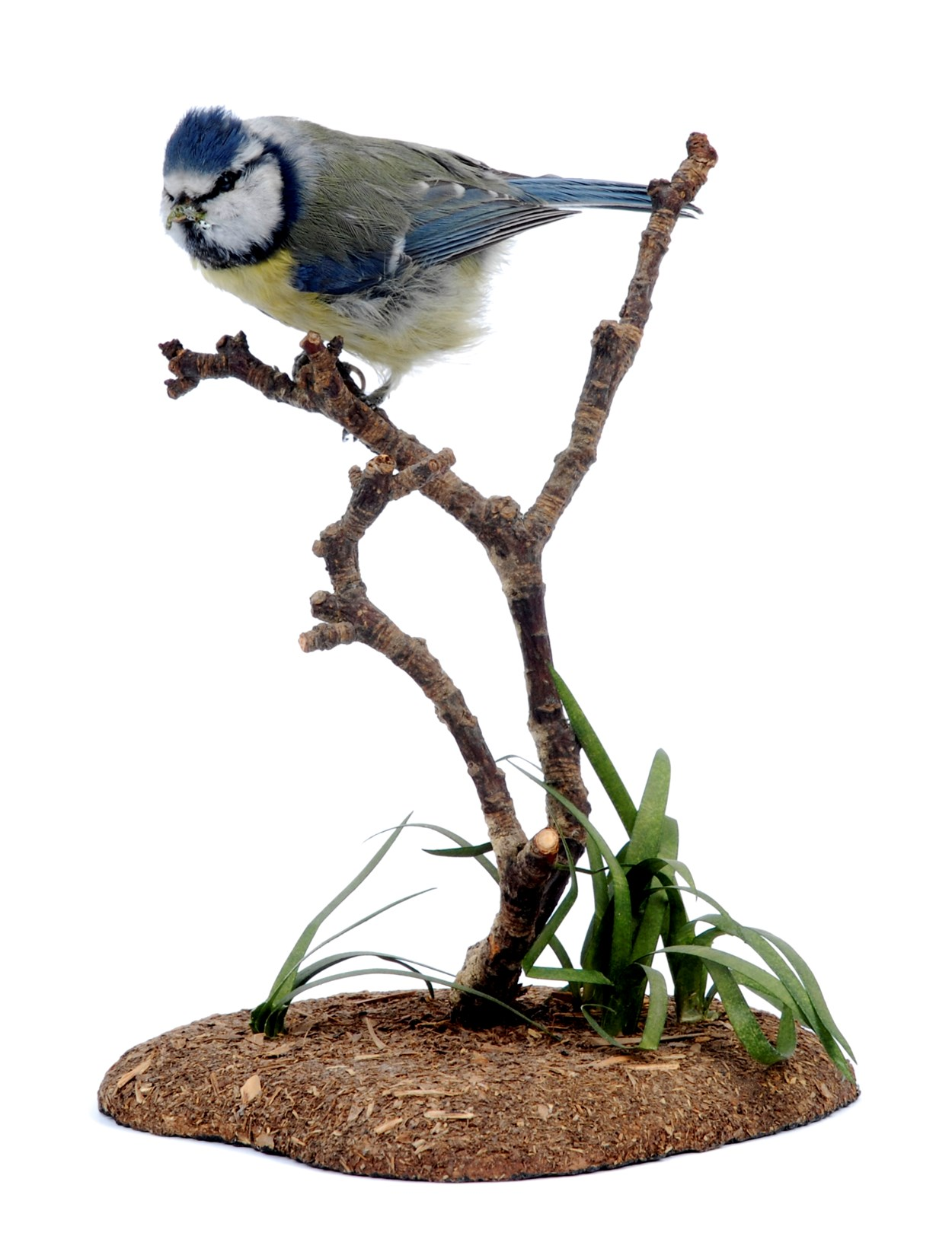 Birdwatching project: A blue tit from the Leeds Museums and Galleries collection which is being used to help home birdwatchers identify birds in their gardens.