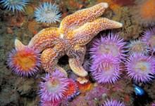 Sea Anemones (Sagaria elegans) and starfish, St.Kilda, Western Isles. Copyright Sue Scott-SNH