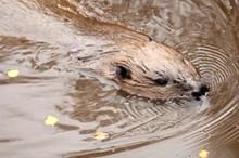 Beaver swimming. Credit Lorne Gill-NatureScot