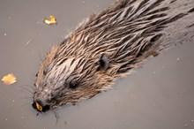 European Beaver, Highland Wildlife Park ©Lorne Gill/NatureScot