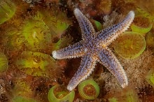 A common starfish on jewel anemones ©George Stoyle/SNH