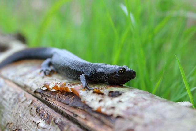 Newt on log