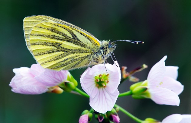 Nature Conference: Green-veined White (Peiris napi) butterfly resting on a cuckoo flower, Kinloch Woods, Isle of Rum National Nature Reserve. Copyright Laurie Campbell-SNH