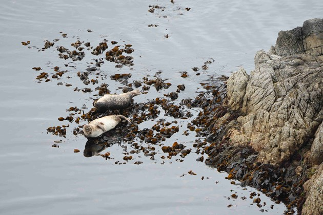Harbour or common sealsresting on a rocky coastline, Shetland © Lorne Gill-NatureScot