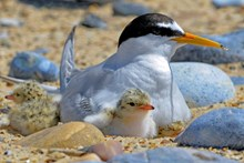 Stage One application - Images - RSPB - little tern (A3110222)