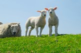 Lambing advice to pregnant women: Animals-sheep-lambs