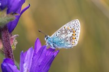Common blue butterfly resting on a clustered bellflower: A common blue butterfly resting on a clustered bellflower