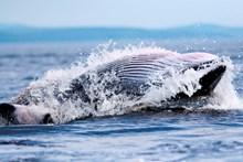 Minke whale feeding ©Michael J. Tetley