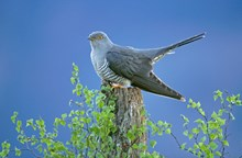 Cuckoo-mh01 - Copyright Mark Hamblin, Free one-time use