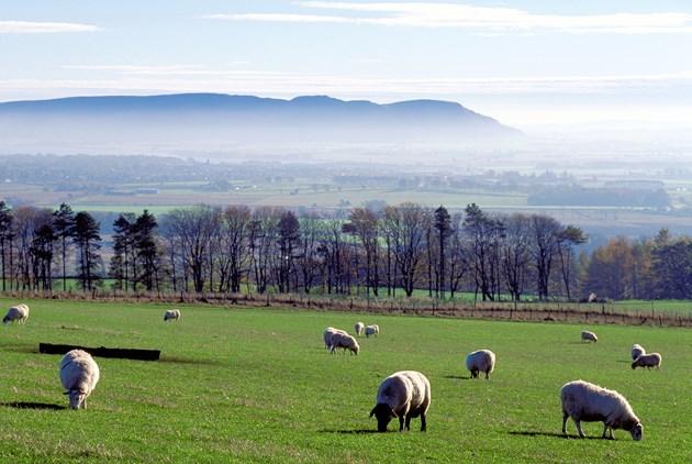 Sheep grazing near Milnathort ©Lorne Gill-NatureScot
