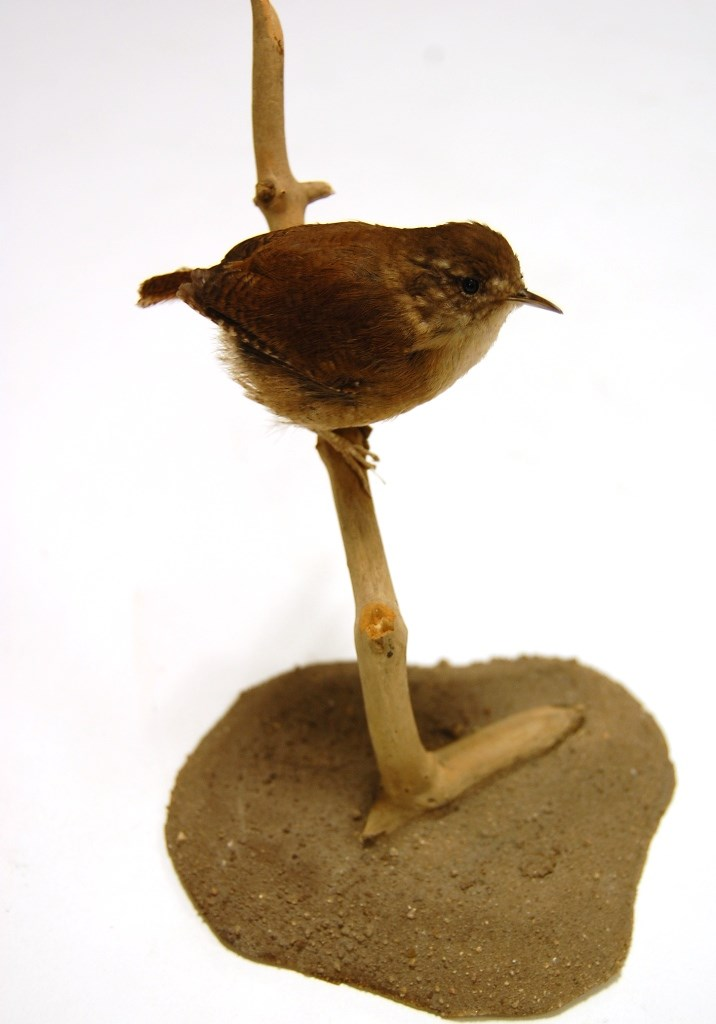 Birdwatching project: A wren from the Leeds Museums and Galleries collection which is being used to help home birdwatchers identify birds in their gardens