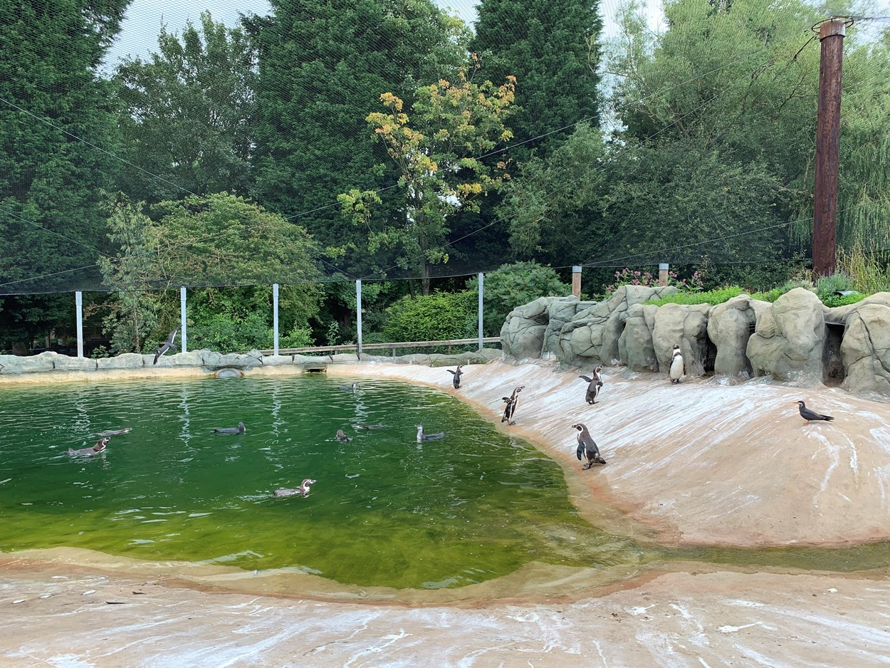 Lotherton penguin chicks: The new penguin chicks enjoy a dip with their parents at Lotherton Wildlife World.