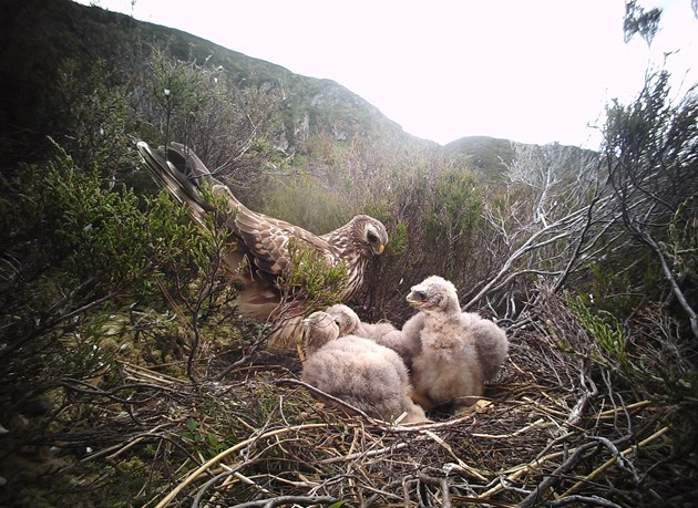 New NatureScot report provides insights into rare hen harriers from millions of nest camera images: One-year old female hen harrier at nest  - credit Brian Etheridge