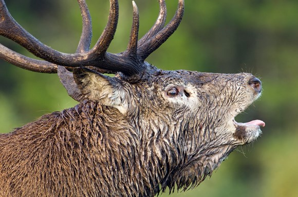 Red deer stag ©Lorne Gill SNH