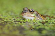 Frog © Lorne Gill SNH