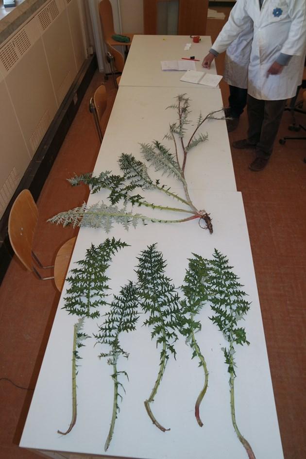 The team in Libya prepare specimens of the Cyrenaican wild artichoke Cynara Cyrenaica ©Tarek Mukassabi