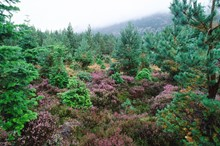 Scots pine and heather, Inshriach, Invereshie and Inshriach NNR.: Scots pine and heather at Inshriach & Invereshie NNR. ©John MacPherson/SNH - available for one-off use.
