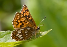 Duke of Burgundy (underwing)