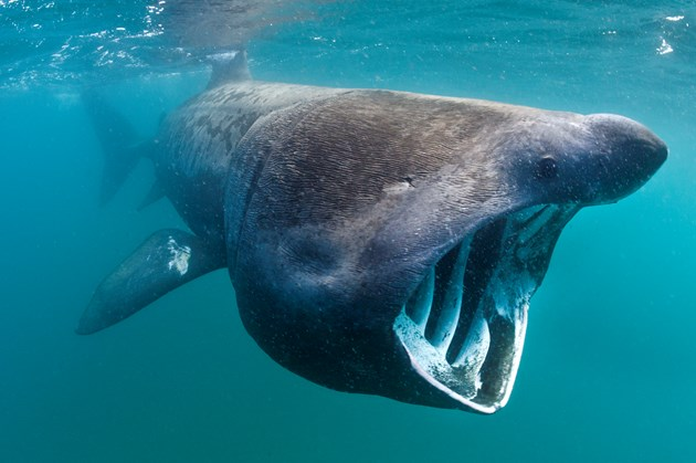 Robot cameras reveal secret lives of basking sharks in UK marine conservation first: Basking shark feeding ©Alex Mustard 2020VISION