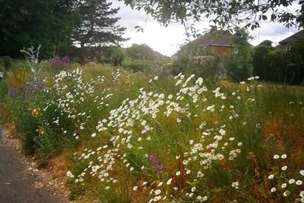 Lansdowne Road wildflowers during 2020