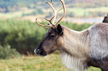 Reindeer-D7905