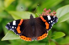 Red admiral butterfly ©Lorne Gill/NatureScot